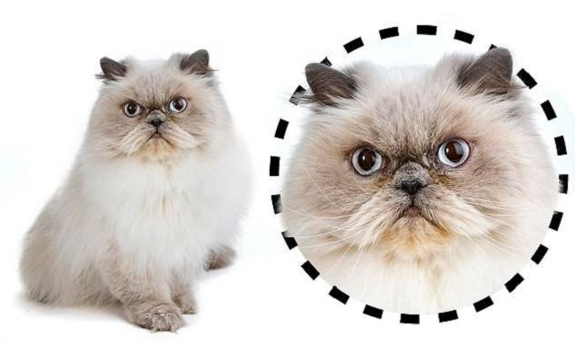 Cats Faces
