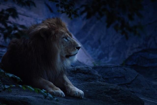 150703_EC_lion
