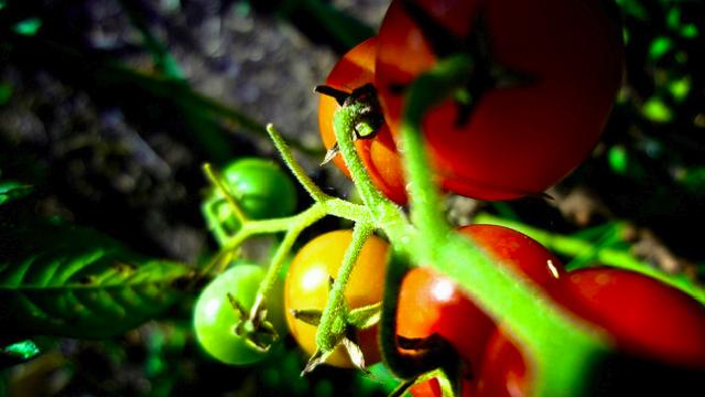 「すぐ枯らしてしまう」性格なためなかなか家庭菜園を続けられない人のための、育てやすい野菜と、その詳しい育て方をご紹介。レタスなどの葉野菜、トマト、キュウリ、ニンジン、カブ、ラディッシュ、サヤインゲン、ズッキーニなど。これさえ読めば、家庭菜園マスターになれるでしょう。2